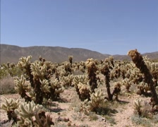 Cholla cactus garden in Joshua Tree National Park, Pinto Basin + pan landscape Stock Footage