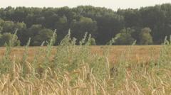 sagebrush, wheat - stock footage