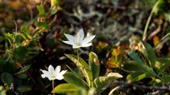 White mountain flower Stock Footage