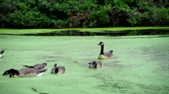 Geese on a Green Pond Stock Footage