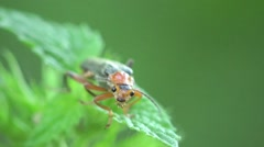 Soldier Insect  Beetle bug macro, HD Stock Footage