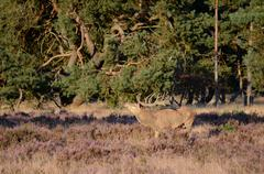 Red deer with antlers Stock Photos