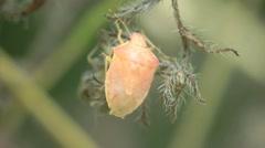 Yellow Pentatomidae beetle Shield bugs macro HD - stock footage