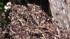 Ants in the forest anthill, active movement Stock Footage
