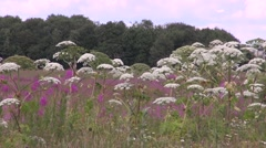 Flowers Heracleum sosnowskyi Stock Footage