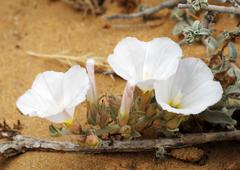 Bindweed on the sand Stock Photos