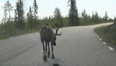 Reindeer on the road - stock footage