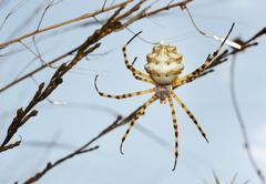 Spider argiope lobed Stock Photos
