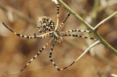 Spider argiope lobed - stock photo