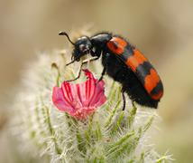 Blister beetles on a flower - stock photo
