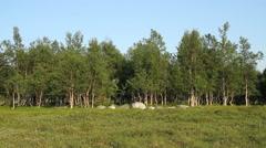 Birch trees, field, flies Stock Footage
