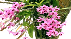 Pink Dendrobium Flowers Stock Footage