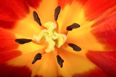 Tulip close-up Stock Photos