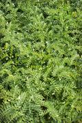 green plants chickpea - stock photo