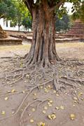 Bodhi tree roots - stock photo