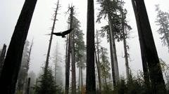 Bald Eagle soars through trees Stock Footage