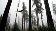 Stock Video Footage of Bald Eagle soars through trees