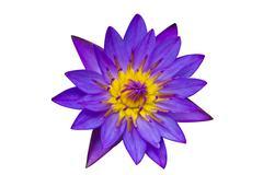 Purple Lotus on White Background Stock Photos