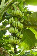 Green banana hanging on brunch banana tree Stock Photos
