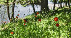 Orange Flowers on Lake Superior Summer Lakeshore - stock photo