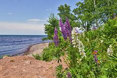Lupine flowers on Lake Superior beach Stock Photos