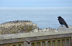 Crow looking at ocean Stock Photos