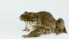 Common brown Thai frog isolated on a white background, thailand Stock Footage