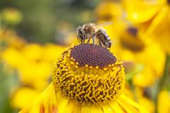 Bee collecting honey on echinacea Stock Photos