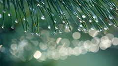 Water drops on fir tree. Shallow DOF. Shot with motorized slider Stock Footage
