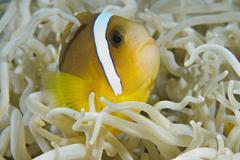 juvenile red sea anemonefish (amphiprion bicinctus) - stock photo