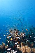 Feather hydroid (macrorhynchia philippina) growing on top of the coral reef,  Stock Photos