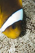 Head-shot of a red sea anemonefish (amphiprion bicinctus)..in haddon's anemon Stock Photos