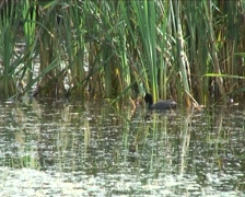 Coot-Rallidae Swimming around a pond Stock Footage
