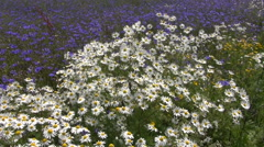 Beautiful wild flowers summer field in wind. Marguerite and cornflowers Stock Footage