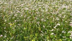 Beautiful summer buckwheat  blossoming field Stock Footage