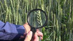 Agronomist  looking through magnifier wheat ears in  field Stock Footage