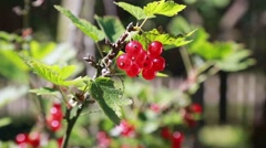 Red currant in the countryy Stock Footage