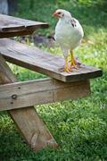 buff brahma chickens - stock photo