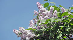 Bush of a lilac waves on a wind Stock Footage