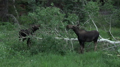 Moose cow calf feeding mountain forest 4K 026 Stock Footage