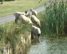 Sheep drinking from a pond in the English Countryside Stock Footage