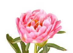 Pink peony flower, stem and leaves on white Stock Photos