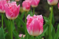 Fringed tulip Stock Photos