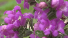 4K UHD Texas Ranger blossoms sway in a breeze extreme closeup 1 Stock Footage