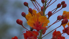4K UHD bee hangs on to Mexican Bird of Paradise blossom v4 Stock Footage