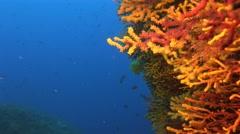 Reef Gorgonia sea-whip Mediterranean Sea Stock Footage