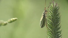 Diptera fly macro insect, meadow, HD - stock footage