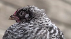 Speckled Chickens on household, yard Ecology HD Stock Footage