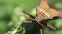 Brown Pentatomidae beetle Shield bugs macro HD - stock footage