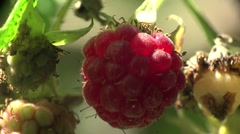 Red raspberries macro in wild forest HD Stock Footage